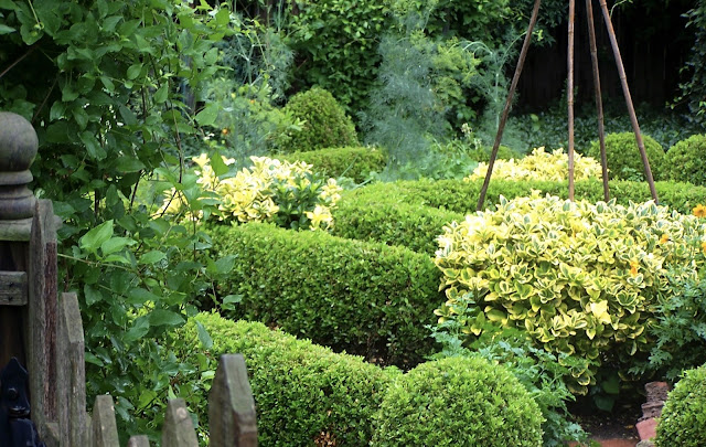 boxwood enclosed kitchen garden is punctuated with rounds of golden eponymous and clouds of dill