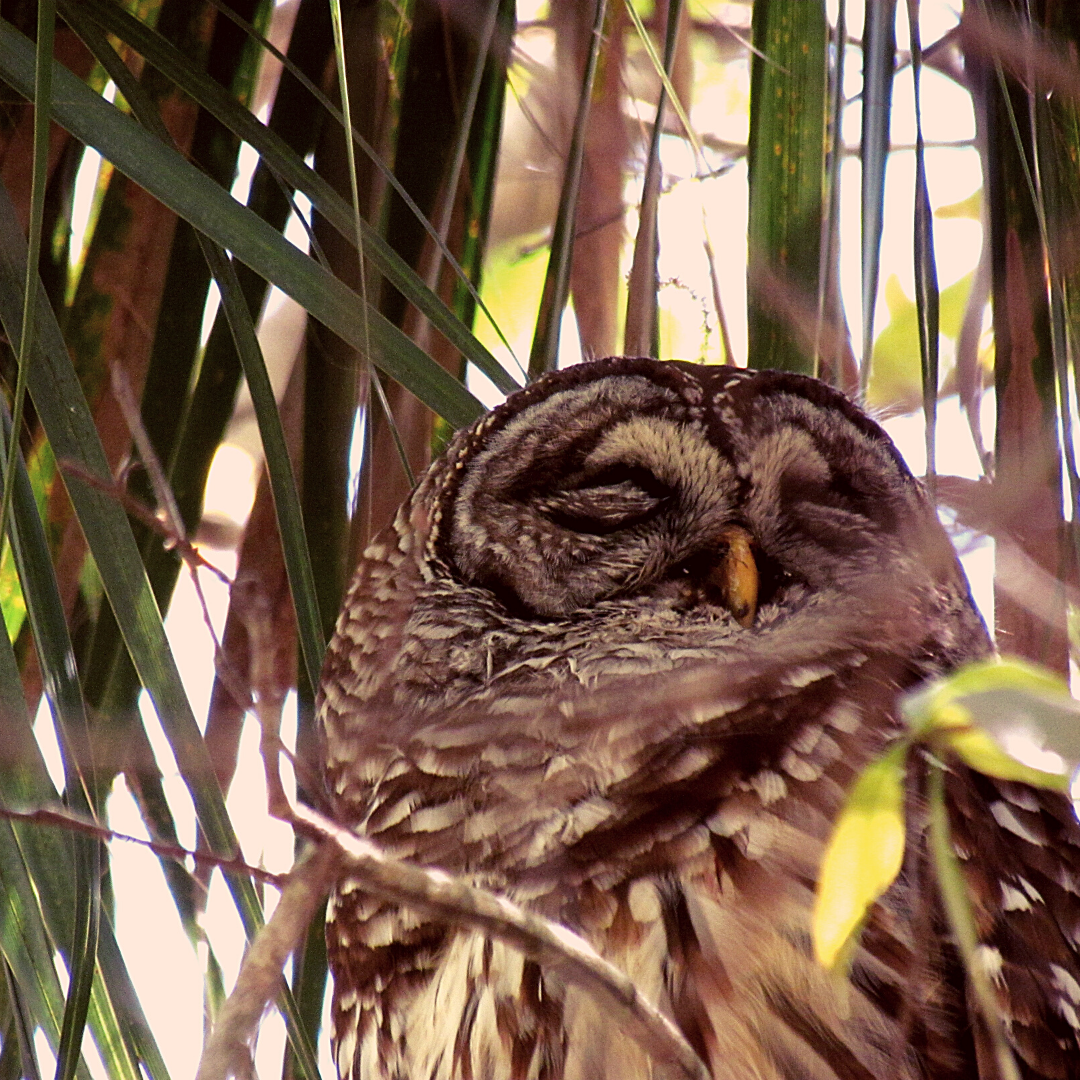 A baby owl in the tree-lined forests of a Florida wilderness