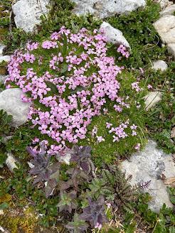 [Caryophyllaceae] Gypsophila repens – Creeping Baby's Breath (Gipsofila striscante)