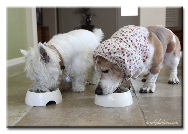 Westie and basset eating dog food