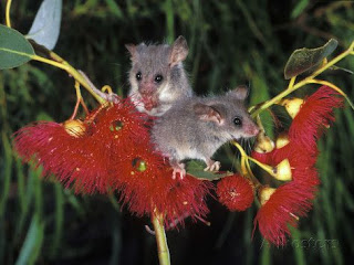 o maravilhoso mundo dos animais marsupiais