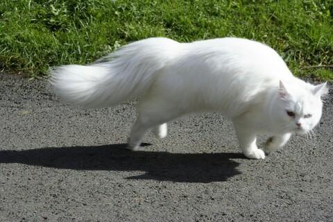 15 Jenis Kucing Ras Paling Lucu Beserta Harga Terbaru 2018