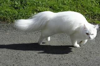 Jenis Kucing Ras Paling Lucu beserta Harga Terbaru, persia medium