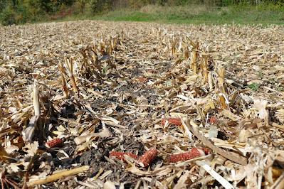 continuous corn residue nitrogen