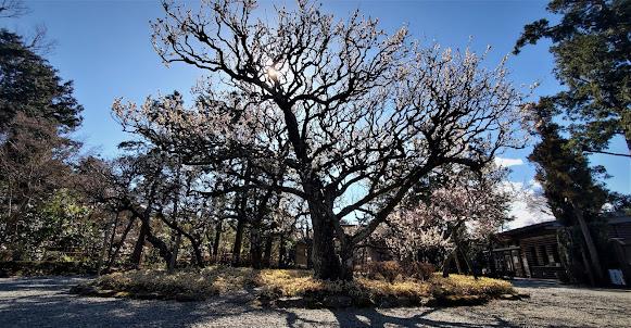 旧吉田茂邸 梅の開花のようす