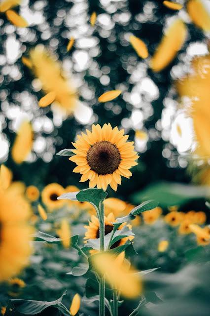 artsy sunflower wallpaper iphone