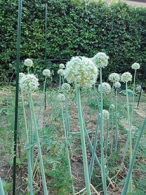 giugno nell'orto: cipolle fiorite