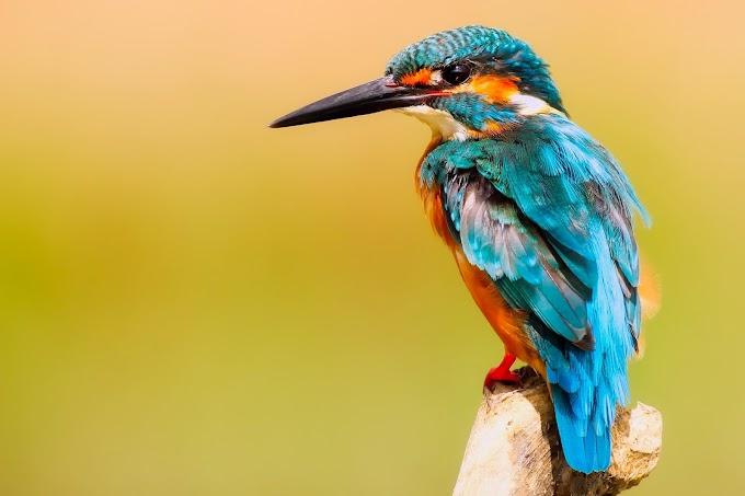 Birds-close-up-of-peacock