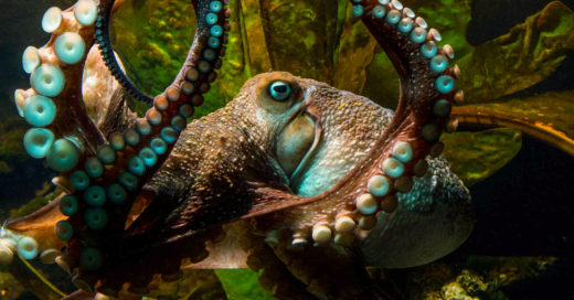 Increíble: un pulpo escapó del acuario y regresó al Océano