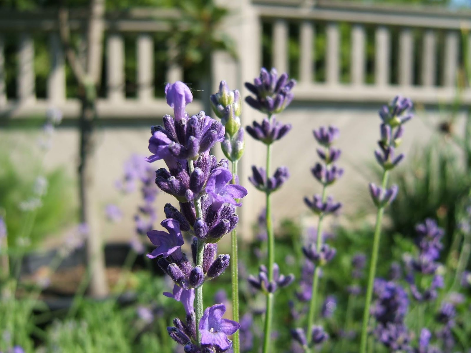 Good Lavenders For The North