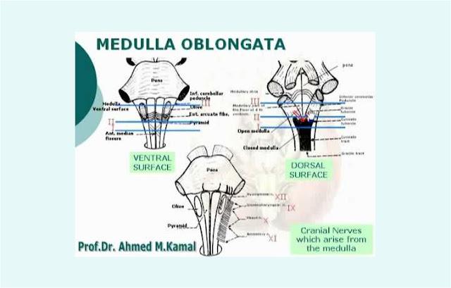 Bagian Medula Oblongata