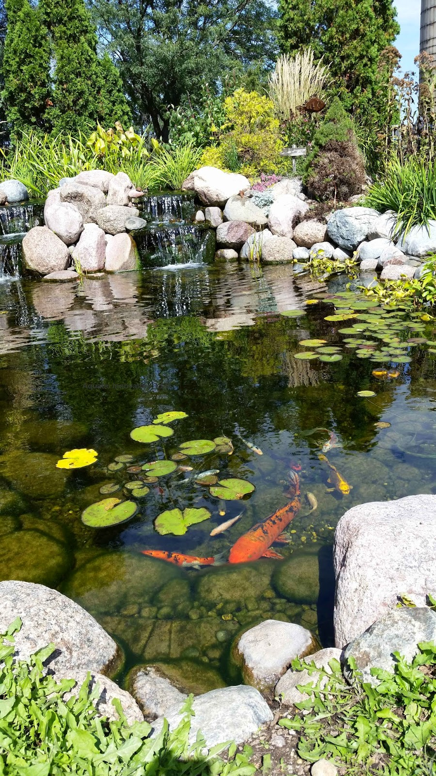 Wisconsin pond chronicle what happens with my fish in the for Koi pool opening times