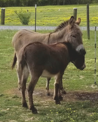 one mini-donkey leaning over the neck of another