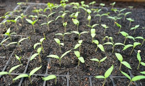 persiapan penyemaian bibit tanaman