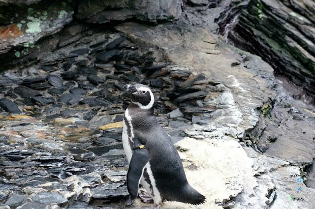 pingwiny lizobna ocenarium
