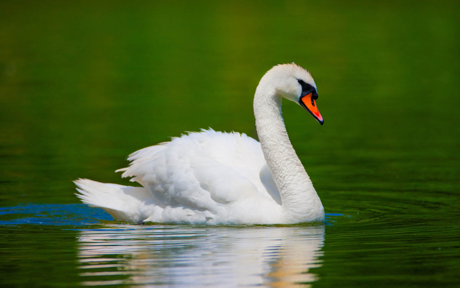 Free Animal Wallpaper Backgrounds Wallpapers Swan Wallpapers