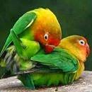 Pakan / Makanan burung yang berkualitas [ Love Bird Solusion Kami telah melakukan ujicoba dan akhirnya menemukan ramuan yang menghasilkan kualitas pakan terbaik dengan bahan 100% alami yang tidak ada efek sampingnya terhadap burung peliharaan anda Hal utama yang perlu diperhatikan dalam hal pakan adalah menu yang variatif sehingga kecukupan nutrisi, vitamin dan mineralnya. Pakan yang bagus, selain lengkap nutrisinya seperti protein, karbohidrat, juga lengkap vitaminnya seperti vitamin A, D3, E, B1, B2, B3 (Nicotimanide) B6, B12, C dan K3. Selain itu, perlu pula mengandung zat esensial seperti D-L Methionine, I-Lisin HCl, Folic Acid (sesungguhnya adalah salah satu bentuk dari Vitamin B) dan Ca-D. CP. 085647213500 - Pin. 7F865D6D