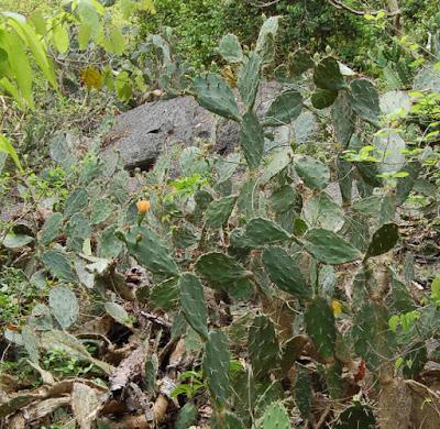 ต้นเสมา กระบองเพชรต่างถิ่นรุกรานในไทย