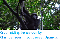 https://sciencythoughts.blogspot.com/2014/11/crop-raiding-behaviour-by-chimpanzees.html