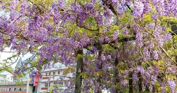 嘉義瑞里紫藤花季茶壺民宿餐廳,茶壺外的紫色風暴,免費參觀