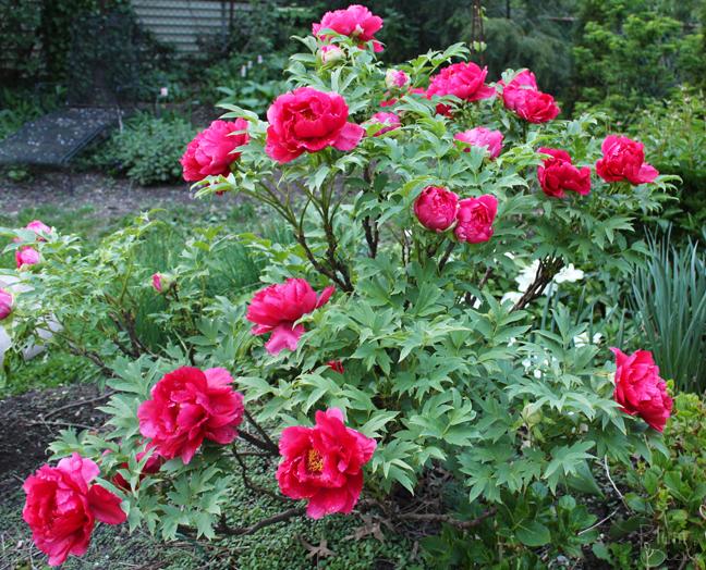 Red Peony Bush