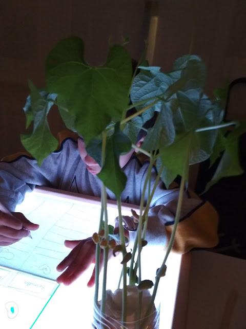 Ciclo de vida de una planta sobre la mesa de luz