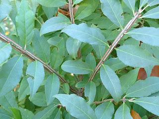 Fusain ailé - Euonymus alatus