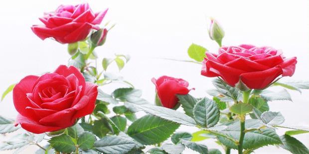 Ada banyak pertimbangan untuk penanaman mawar di luar seberapa dalam lubang  harus dan apa pupuk untuk digunakan. Langkah yang paling penting adalah  untuk ... 67f771b7f4
