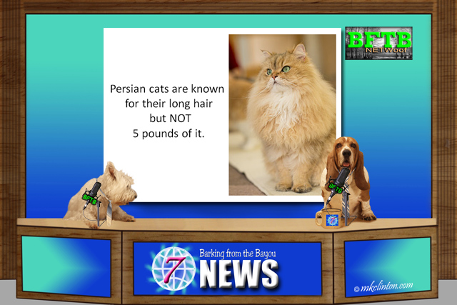 BFTB NETWoof News report on Persian Cat with 5 pounds of excess hair