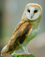 Barn Owl – British Wildlife Centre Surrey, UK– photo by Peter Trimming