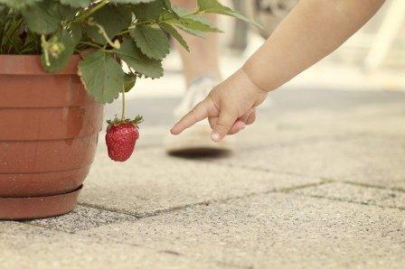 strawberry in pot