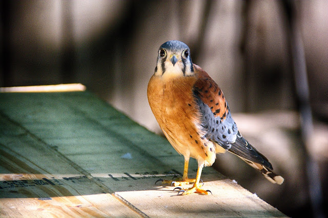 Indigo, the American Kestrel the OVWBCC education ambassador