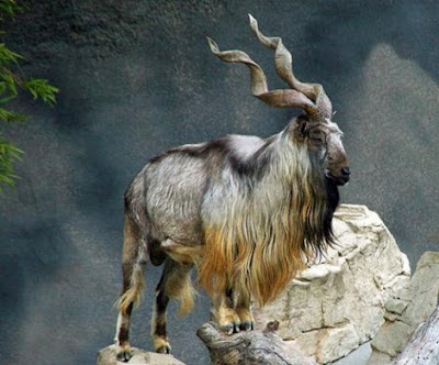 Markhor - National Animal of Pakistan