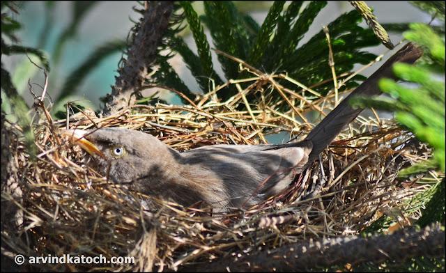 Jungle Babbler, Nest