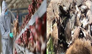 इंदौर और नीमच में मुर्गियों में बर्ड फ्लू की पुष्टि, चिकन मार्केट सात दिनों के लिए बंद  | #NayaSaberaNetwork