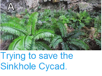 https://sciencythoughts.blogspot.com/2015/02/trying-to-save-sinkhole-cycad.html