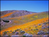 Tejon Wildflowers