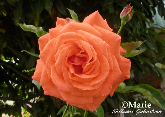 Orange rose flower photo full bloom