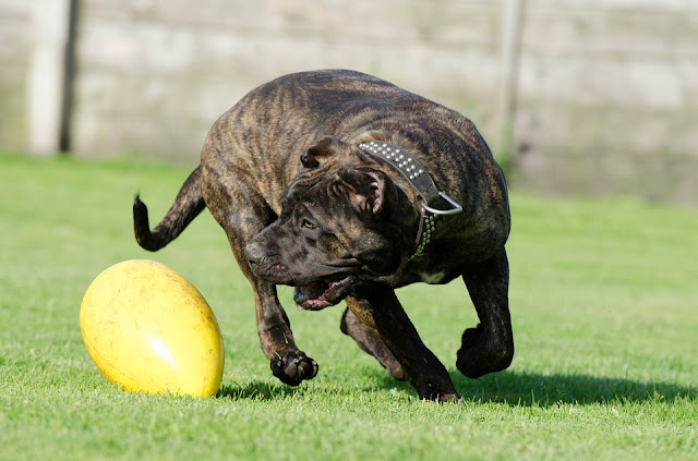 world's strongest dog breeds