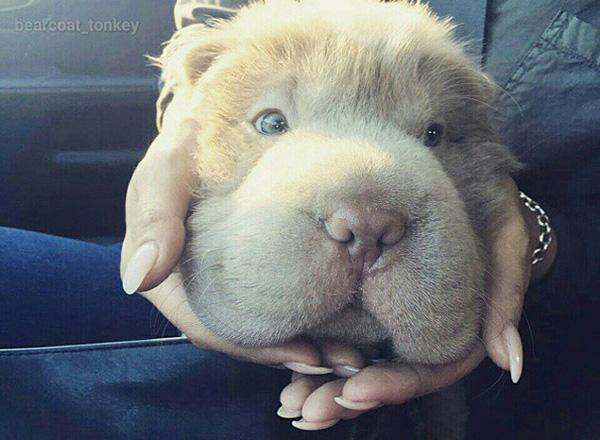 Cô chó Shar Pei lông gấu nổi tiếng với bộ mặt lúc nào cũng ngắn tũn