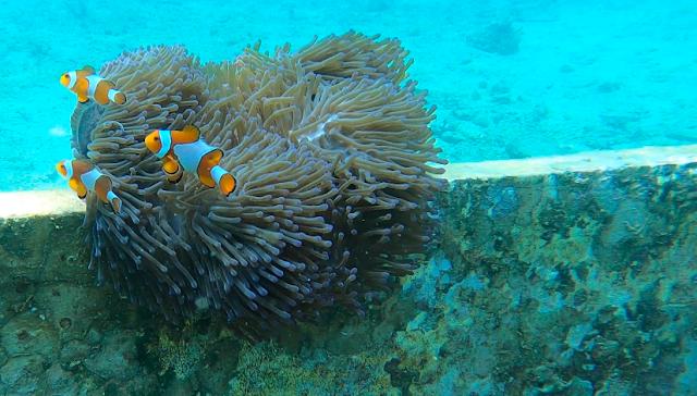 Nemo at Tanjung Putus Island, Lampung, Indonesia