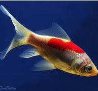 Inilah Jenis Ikan Koki Beserta Gambar Ikan Koki comet