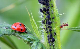Marienkäfer vertilgen Blattäuse