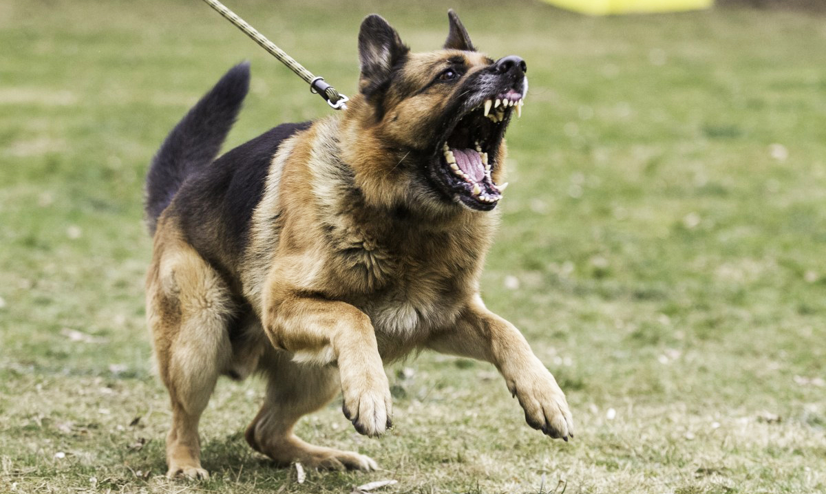 German Shepherd adult dog is pulling his rope leash and displaying aggression