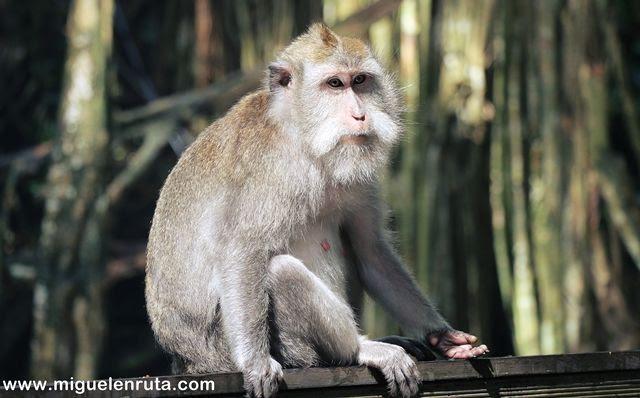 Mono-cola-larga-Monkey-Forest