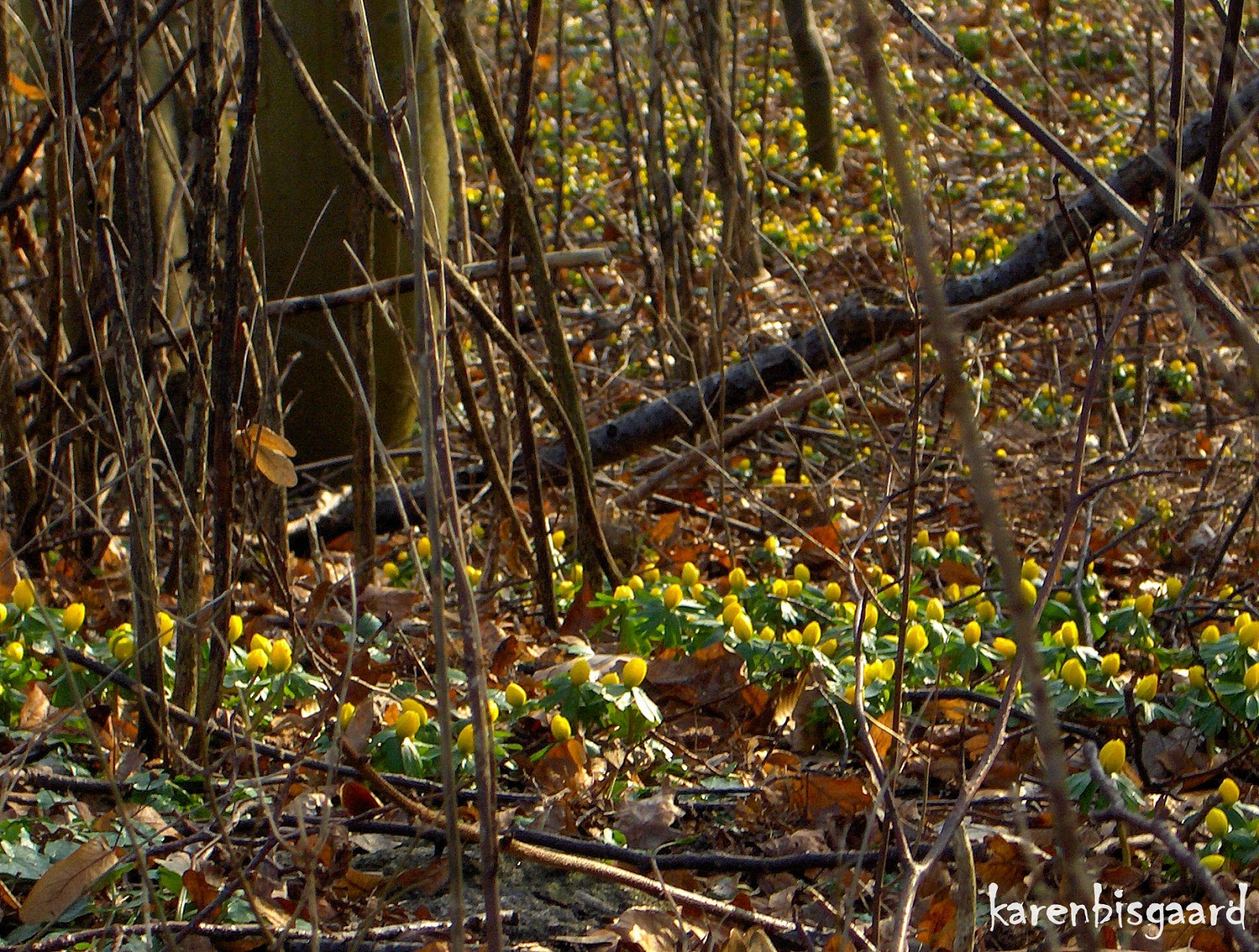 Karen`s Nature Photography: Eranthis Flowers Covering ...