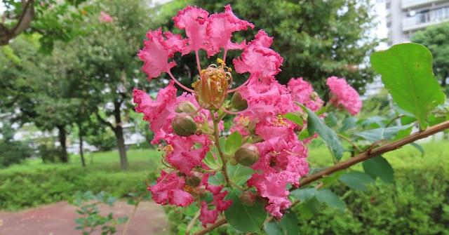 サルスベリのピンク系の花