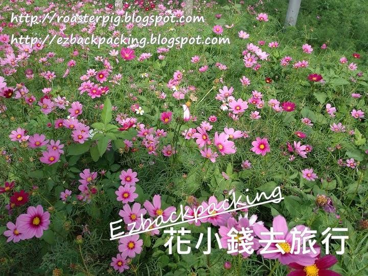 香港11-12月賞花:大棠看波斯菊