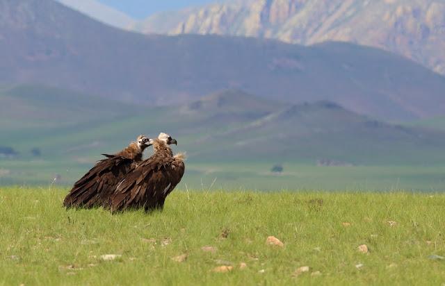 Monk vultures, Khangai Mountains, Mongolia