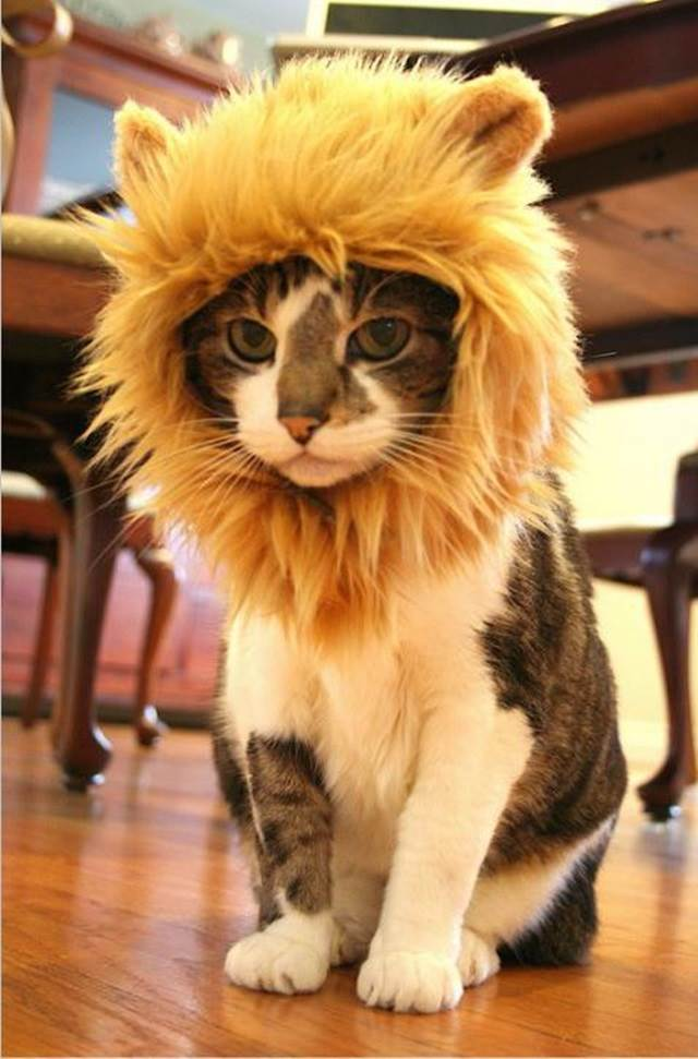 kucing muka bosan pakai topi